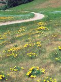 Yellow Flowers with Winding Road Photographic Print by Green Light Collection