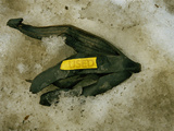 Used Banana Peel in Snow Photographic Print by Green Light Collection