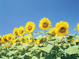 Sunflowers in Sunlight Photographic Print by Green Light Collection