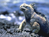 Lizard Galapagos Is Ecuador Photographic Print by Green Light Collection
