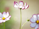 Close-up of Cosmos Flowers Photographic Print by Green Light Collection