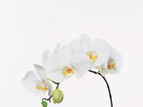 Stalk of White Flowers Photographic Print by Green Light Collection