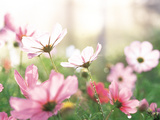 Pink Flowers in Meadow Fotodruck von Green Light Collection