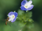 Bee Pollinating a Flower Photographic Print by Green Light Collection