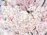 Cherry Blossoms Photographic Print by Green Light Collection