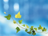 Green Vine of Ivy on Deep Blue Photographic Print by Green Light Collection
