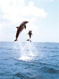 Bottlenose Dolphins Spinning in Water Fotografisk trykk av Green Light Collection