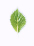Green Leaf on Beige Background Photographic Print by Green Light Collection