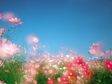 Shiny Pink Flowers in Bloom with Blue Sky Photographic Print by Green Light Collection