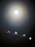 Cranes Flying Across the Moon Photographic Print by Green Light Collection