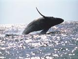 Whale Jumping Reprodukcja zdjęcia autor Green Light Collection