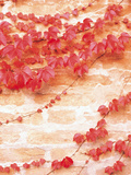 Bricked Wall Covered with Red Ivy Photographic Print by Green Light Collection