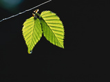 Two Green Leaves on Thin Branch on Black Lámina fotográfica por Green Light Collection