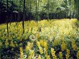 Yellow Flowers And Trees in a Forest Photographic Print by Green Light Collection
