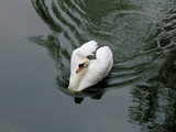 Swan in a Pond Photographic Print by Green Light Collection