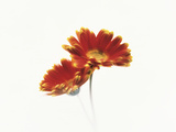 Two Flowers Head Against White Background Photographic Print by Green Light Collection