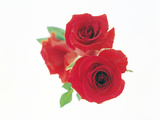 Beautiful Red Roses Photographic Print by Green Light Collection