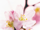 Close Up of Cherry Blossom Fotoprint av Green Light Collection