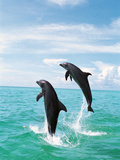 Bottlenose Dolphins Spinning in Water Photographic Print by Green Light Collection