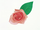 Rose with Leaf Against White Background Photographic Print by Green Light Collection