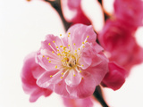 Selective Focus on Cherry Blossom Photographic Print by Green Light Collection