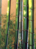 Bamboo Sticks Photographic Print by Green Light Collection