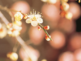 Cherry Blossom in Selective Focus Photographic Print by Green Light Collection