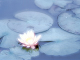 Pink Flower in Pond, Lotus Photographic Print by Green Light Collection