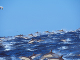 School of Common Dolphins Playing in the Sea Fotografisk trykk av Green Light Collection