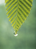 Dew Drop on a Leaf Photographic Print by Green Light Collection