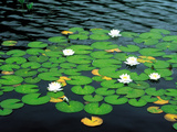 Lily Pads with Water Lily Photographic Print by Green Light Collection
