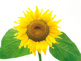 Close Up of Sunflower Photographic Print by Green Light Collection