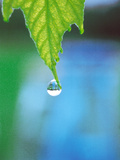 Water Drop Falling From Leaf Photographic Print by Green Light Collection