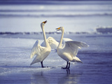 Swans on the Beach Photographic Print by Green Light Collection