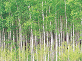 Aspen Trees, View From Below Photographic Print by Green Light Collection