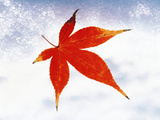 Red Maple Leaf Against White Background Photographic Print by Green Light Collection