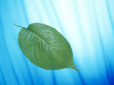 Single Green Leaf on Streaked Blue And White Photographic Print by Green Light Collection