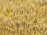 Wheat Field Photographic Print by Green Light Collection