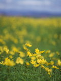 Yellow Flowers in a Field Photographic Print by Green Light Collection