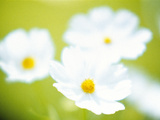 Close-up of White Cosmos Flowers Photographic Print by Green Light Collection