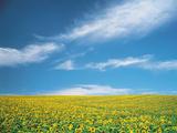 Sunflowers in Field Papier Photo par Green Light Collection