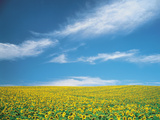 Sunflowers in Field Photographic Print by Green Light Collection