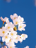Blossoms Against Blue Sky Photographic Print by Green Light Collection