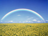 Rainbow Spans Over a Field of Yellow Flowers Photographic Print by Green Light Collection