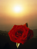 Close Up of Red Rose with Green Leaves Floating in Front of Selective Focus Sunset Photographic Print by Green Light Collection