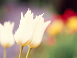 Close-up of Tulip Flowers Photographic Print by Green Light Collection