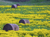 Hay Bales And Mustard Fields in Springtime Photographic Print by Green Light Collection