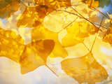 Selective Focus Close Up of Golden Yellow Autumn Leaves Photographie par Green Light Collection