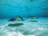 Southern Stingrays in Sea Water Fotografisk tryk af Green Light Collection