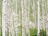Aspen Trees Photographic Print by Green Light Collection